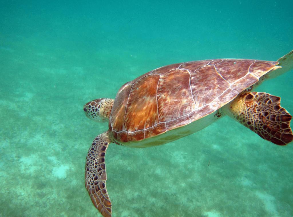 Tortuga marina en el mar en Akumal, Península de Yucatán