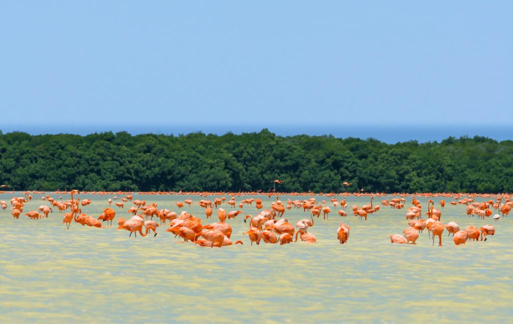 Flamencos Rosados en la Reserva de la Biosfera Ría de Celestún, Yucatán