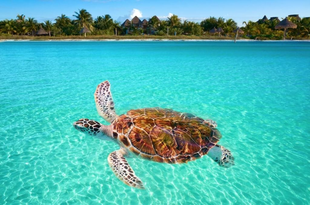 Tortuga nadando en Holbox, Quintana Roo, unos de los lugares para practirar actividades de ecoturismo en México