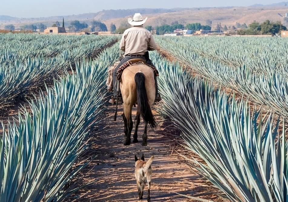 Campesino con sombrero montando un caballo seguidos por un perro entre agave azul que se convertirá en tequila en Amatitan, Jalisco