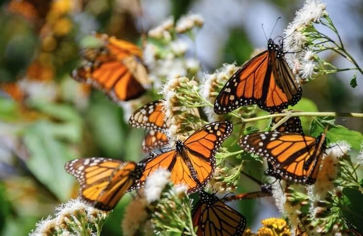 Mariposas Monarcas en la Reserva de Biosfera en Angangueo, Michoacan